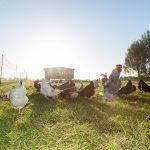 Hühnerstall mit Hühner und Han auf der Weide