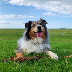 Hofhund Sam auf der Wiese
