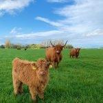 Rinder (Highlander) auf der Wiese